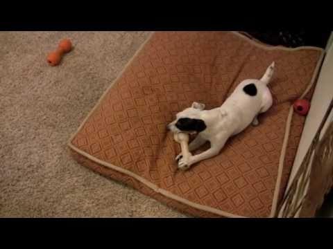 See Dominant Little Dog Correct Other Dog For Unwanted Behavior