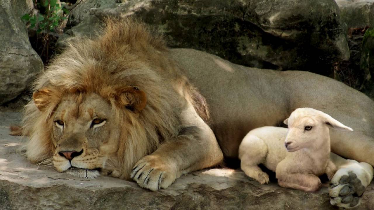 Black And White Feature Wall Wallpaper 2016 10 23 Mandela Effect Lion And Lamb Isaiah Is