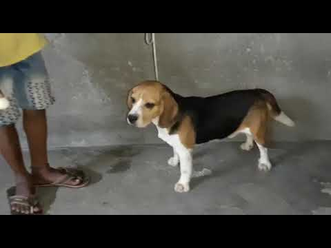 ANSHU.DOG.CARE.9716929043 Beagle Male for sale at Delhi