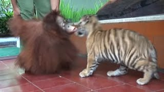 lucunya anak harimau dan orang utan