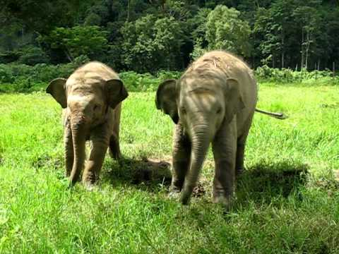Baby Elephants Play with Dogs