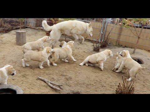 Как 12 щенков Алабай смешно aтaкyют Лайку / Забавное и смешное видео