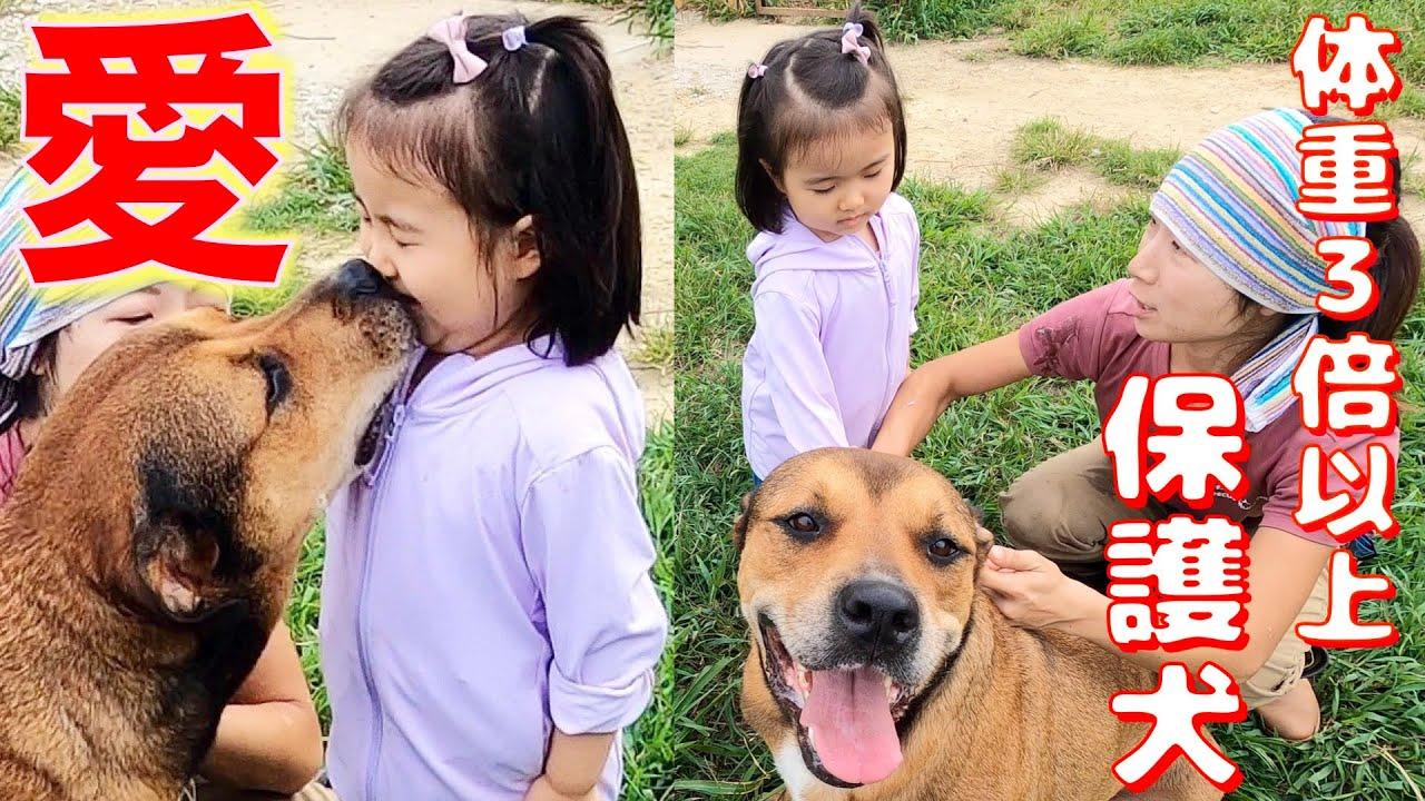 4歳少女が体重3倍以上ある保護犬と仲良くなれるか?やってみた❗️