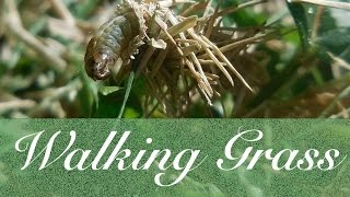 Walking Grass - A Bag Worm on the Move - Cute and Funny Animal Video