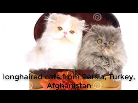 The Most Popular Persian Cat Info | Know More About Your Kitty.