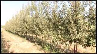 видео В Кыргызстане будут выращивать карликовые сорта яблонь