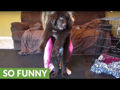 Giant Newfoundland puppy attack!