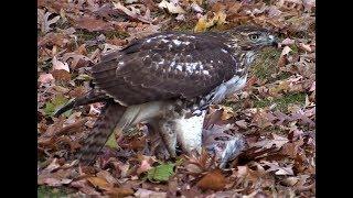 Red Tailed Hawk eating a Squirrel Carcas in Third Ward Park Passaic, NJ