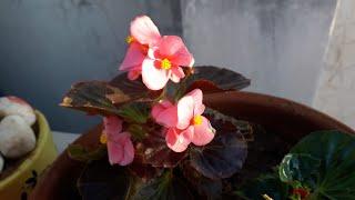 Begonia Plant Care // बिगोनिया पौधे की देखभाल