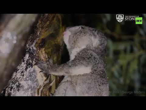Учёные узнали, как коалы пьют воду. Раньше считалось, что они добывают её из эвкалипта