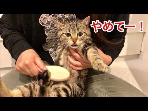 妹の神ブラッシングで大量の毛を収穫されてしまった猫w