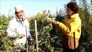 видео Особенности выращивания ежевики в подробностях