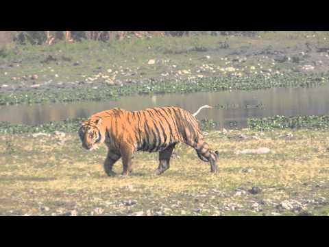 Tiger sighting at Kaziranga on March 2014