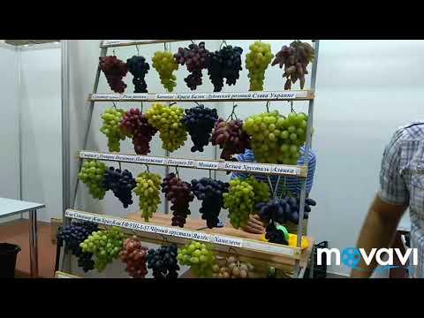 Золотая гроздь винограда 2019, часть 1, подготовка участников, открытие выставки. РЕБЯТА ЭТО ЧТО-ТО!