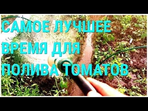 Вопрос: Почему утром на листьях томата капли воды?