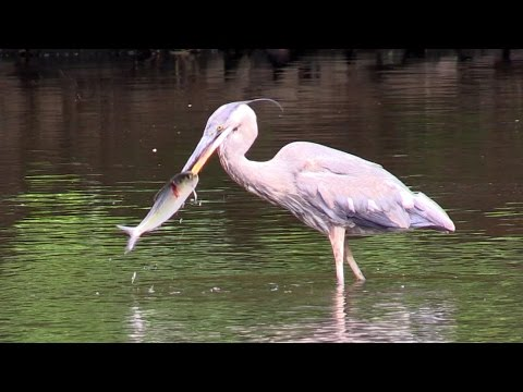 Great Blue Herons & Others Eating River Herring