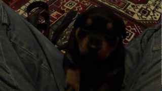 Rottweiler Yavrusu