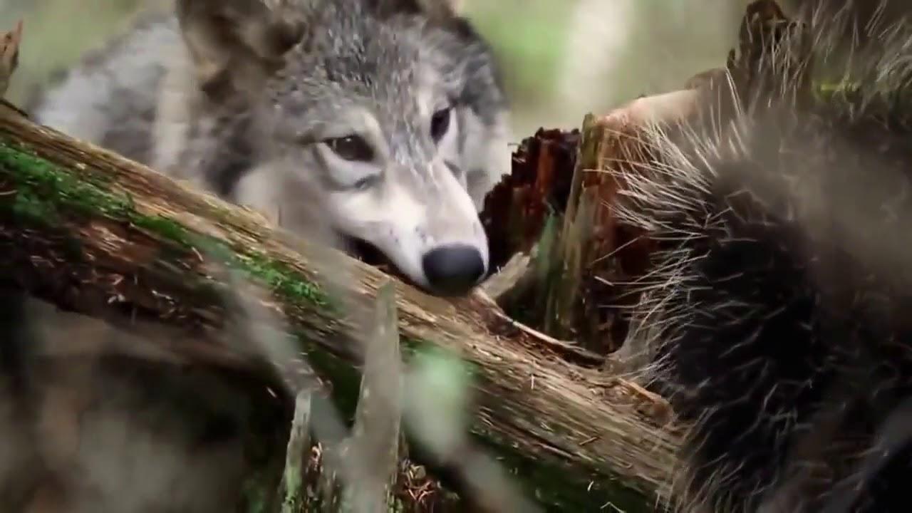 Дикая природа Аляски. Мир животных. Документальный фильм.