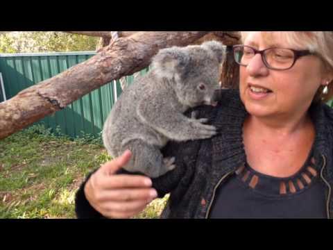 Being a koala carer (starring Sammi the koala)