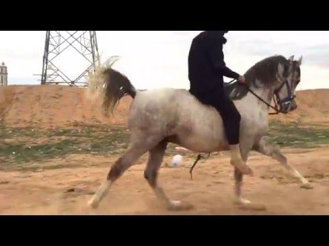 Bareback riding on an Arabian Horse / شرح عام عن ركوب الخيل والتحكم بها وأسلوب التعامل معها