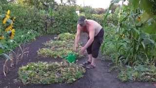 Выращивание огурцов в огороде. Огурцы на даче в огороде