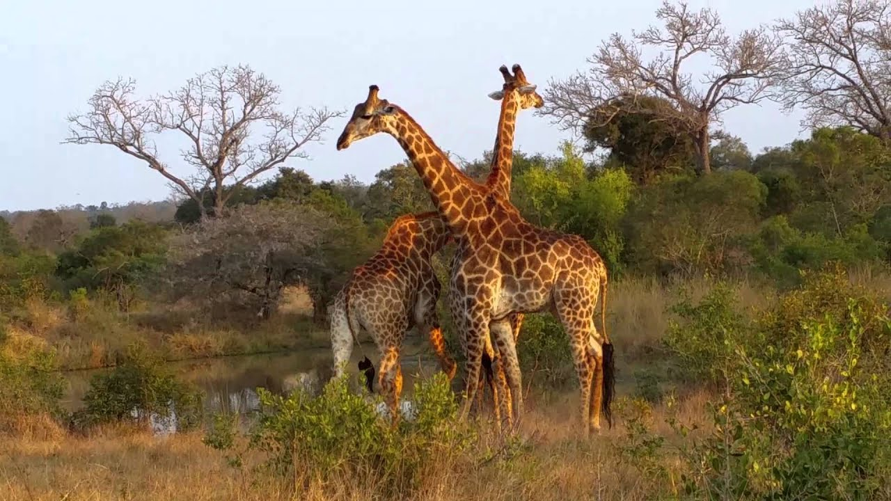 Giraffe Spiel