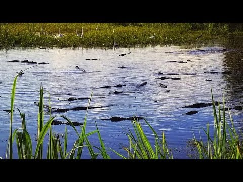 Video Captures 53 Gators In One Pond At Wildlife Refuge