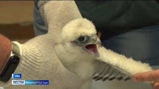 В Уфе окольцевали птенцов сокола-сапсана - видео