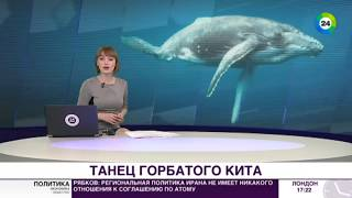 В Австралии горбатый кит отпугнул чужаков танцем - МИР24