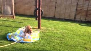 Mad Cocker Spaniel And A Paddling Pool