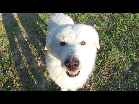 EX PAT LIFE IN ABRUZZO. Maremma sheepdog, life on the Abruzzo farm, September 2019.