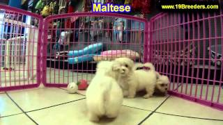 Maltese, Puppies, For, Sale, In, Portland, Maine, Me, Brunswick, Waterville, Westbrook, Saco
