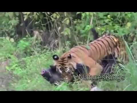 incrível Tigre mata javali,  porém javali resiste até o fim ao vivo