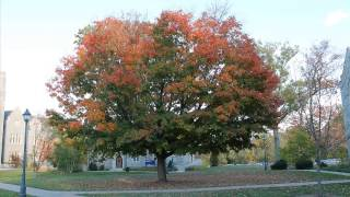 UConn Law Maple Tree Timelapse
