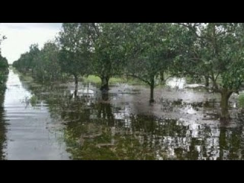 Florida citrus industry in peril