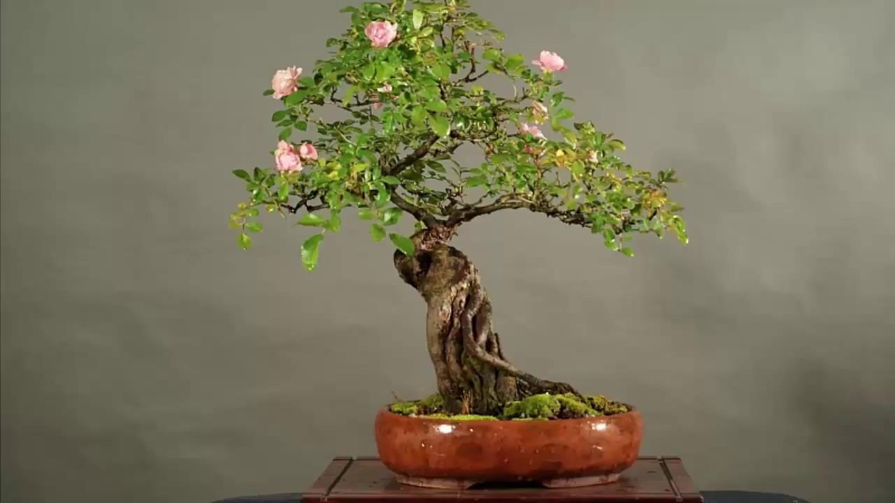 Những Cay Bonsai Hoa Hồng đẹp Nhất Roses Bonsai