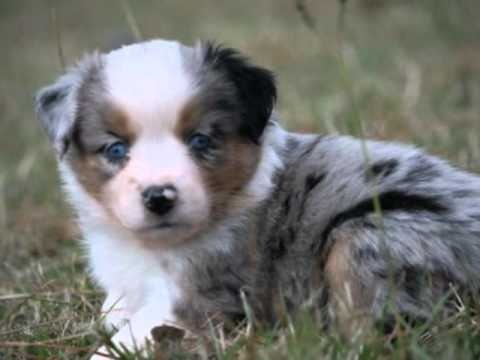 blue merle female quotcorinaquot mini aussie puppy 750 youtube