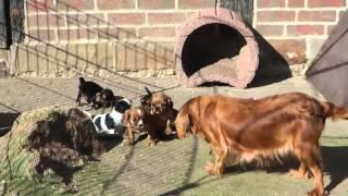 Cavalier-king-charles-spaniel Welpen Spielen In Der Sonne