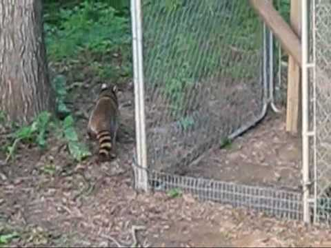 Mother raccoon relocating her five kits.