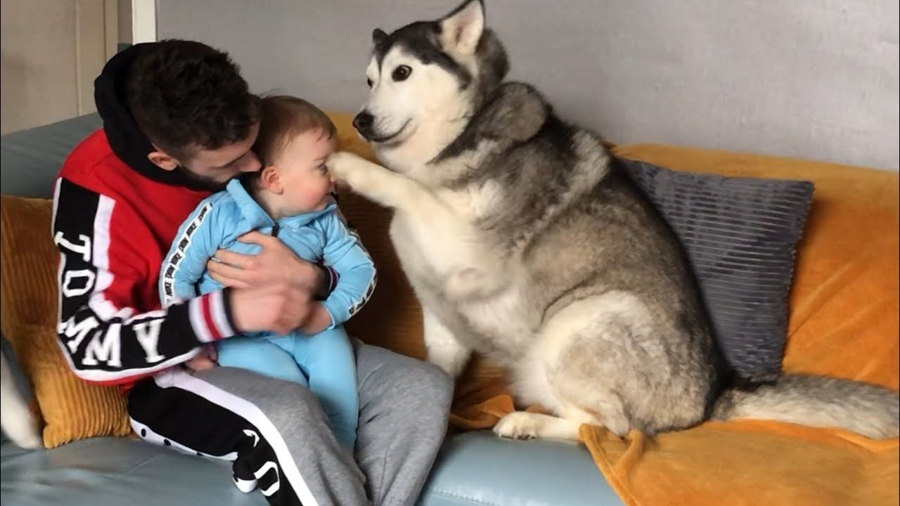 Husky Accidentally Hurts My Baby But Says Sorry And Makes Everything  Okay!!    [READ DESCRIPTION]
