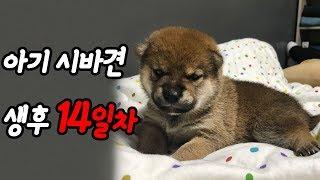 새끼 강아지 생후 14일차, 아기 시바견의 모습