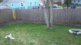 American Bulldog Puppy Obedience Training