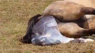 Ssaki - Narodziny konia