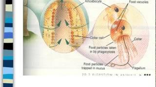 Phylum Porifera and Cnidaria