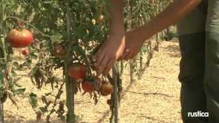 'paul Robeson', Une Tomate Savoureuse. Présentation Et Recette