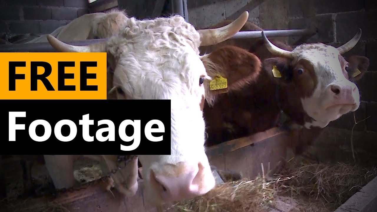 Cows in the Barn - FREE Stock Video Footage [Download Full HD]