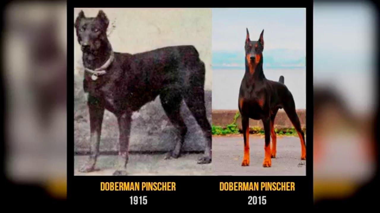 11 Perros De Raza Ahora Y Hace 100 A 241 Os Diferencia