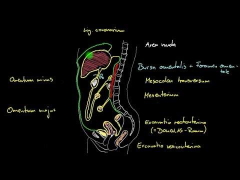 Bauch & Becken - Peritoneum (1/2) - Sagittalschnitt - YouTube