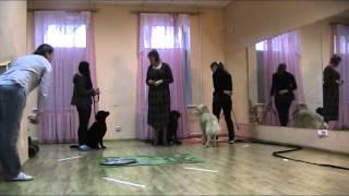 Екатеринбург тестирование собаки терапевта Лада голден-ретр, сдано