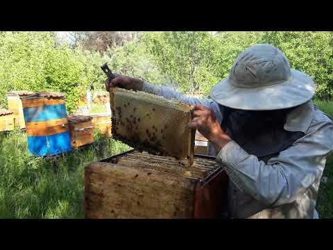 კავკასიური რუხი დედა ფუტკარი
